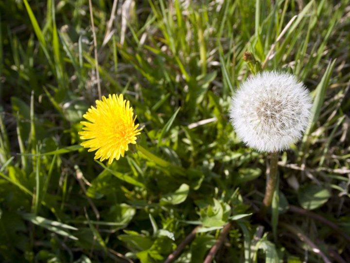 28th October 2017 – The Dandelion