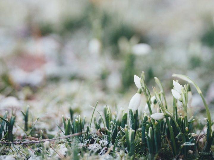 January 27th – Snowdrops