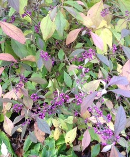 01 November 2015 – Purple Berries